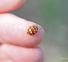 Cream-spot ladybird on the photogtrapher's hand, Calvia quatuordecimguttata by pogomcl