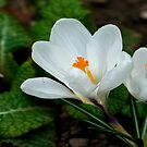 White Crocus  (Spring Bulbs) by Trevor Kersley