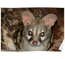 THE LARGE  SPOTTED GENET - Genetta tigrina Poster