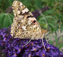 Painted Lady Butterfly on Buddleia by Sandra Cockayne