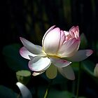 Lotus 1 by Anne Smyth