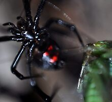 Black Widow by davetefft