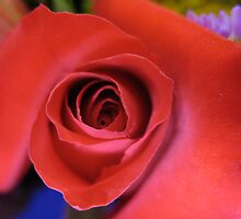 Romantique Red Rose by MarianBendeth