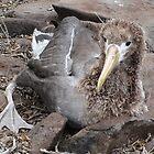 Galapagos Islands: Baby Waved Albatross by tpfmiller