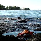 Galapagos Islands: Sally Lightfoot Crab by tpfmiller