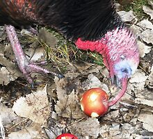 Wild Turkey Eating an Apple by Barberelli