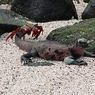 Galapagos Islands: Marine Iguana and Sally Lightfoot Crab by tpfmiller