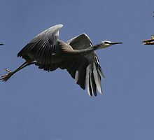 Heron Liftoff Montage by Phillip Weyers
