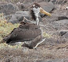 Galapagos Islands: Juvenile Waved Albatross by tpfmiller