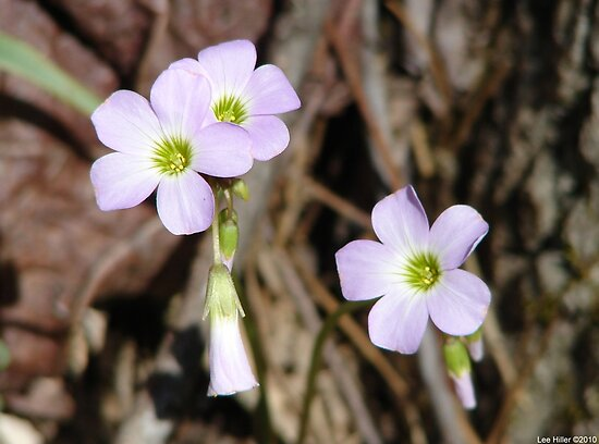 Oxalis lasiandra - Hot Springs National Park, Arkansas by Lee Hiller