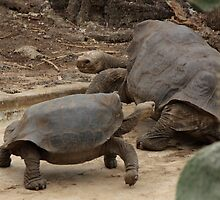 Galapagos Islands: Lonesome George and Female by tpfmiller
