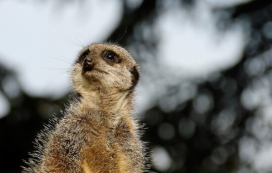 Compare the Meerkat by buttonpresser