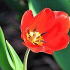 Tulip by Jeff Ore