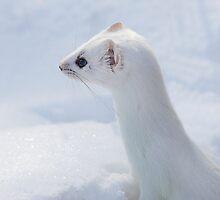 Ermine Profile / Short Tail Weasel by Gary Fairhead