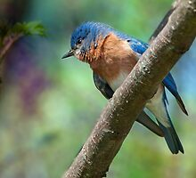 Bluebird in Early Spring by Bonnie T.  Barry