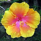 Hibiscus by Barbara Cliff