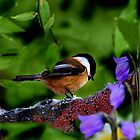 CHESTNUT BACKED CHICKADEE by Debbie  Fontaine
