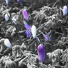 Crocus in the frost by StephenRB