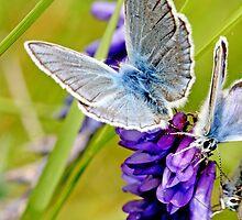 Swarming  blues, Amanda's Blue by pogomcl