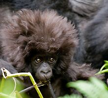 Young Mountain Gorilla, Rwanda by Sue Earnshaw