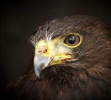 Harris Hawk by geoff curtis