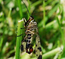Scorpion Fly by widge