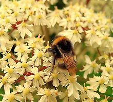 Bee on White Flowers by Stan Owen