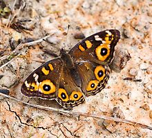 Meadow Argus resting by john  Lenagan
