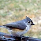 Hungry Titmouse  by WalnutHill