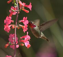 Male Anna's Hummingbird in Courtship Colors by Diana Graves Photography