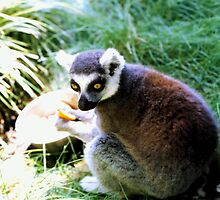 Ringtailed Lemur Eating by Michelle Miller