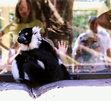 Black and White Lemur Next to the Viewing Window by Michelle Miller