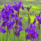 Private Irises by sundawg7