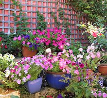 bright pots of petunias by joycee