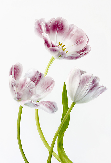 Tulips by Mandy Disher