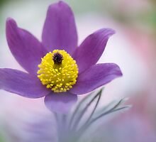 Pretty Pulsatilla by Jacky Parker