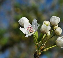 Crab Apple Blossoms  by Jeff Stroud