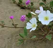 Sand Verbenia and Desert Primrose by CarolM