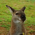 Wallaby by Samantha  Goode