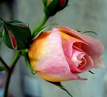Bud of rose by daffodil