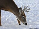 Buck Smelling the Fresh Morning Snow by Barberelli