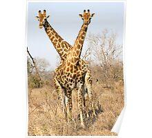 Rare Two Headed Giraffe Poster