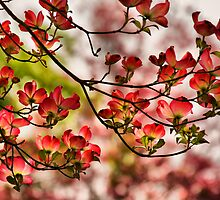 Dogwood Blossoms by Barbara  Brown