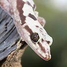 Profile - Robust Velvet Gecko #4 by PPV247