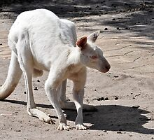 Albino Kangaroo by Tom Newman