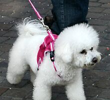 White Fluff Dog In Pink by coffeebean