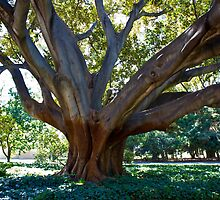 Fig Tree, UWA by KBloodGallery