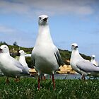 Gang of Gulls by AlMiller
