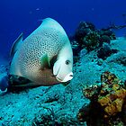 Angel Fish by Robtoca