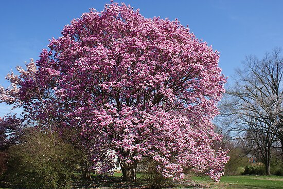 Magnificent Magnolia tree.......!!! by Ruth Lambert